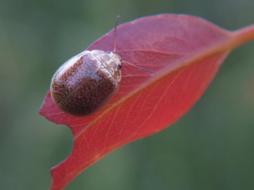 Paropsisterna variicollis beetle
