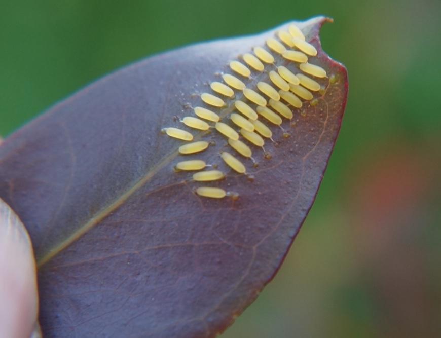 Paropsisterna variicollis eggs