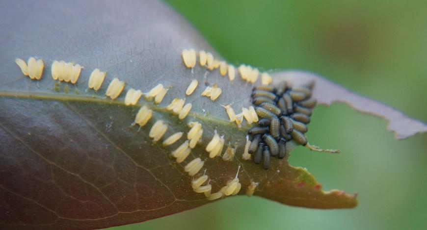 Paropsisterna variicollis larvae and eggs