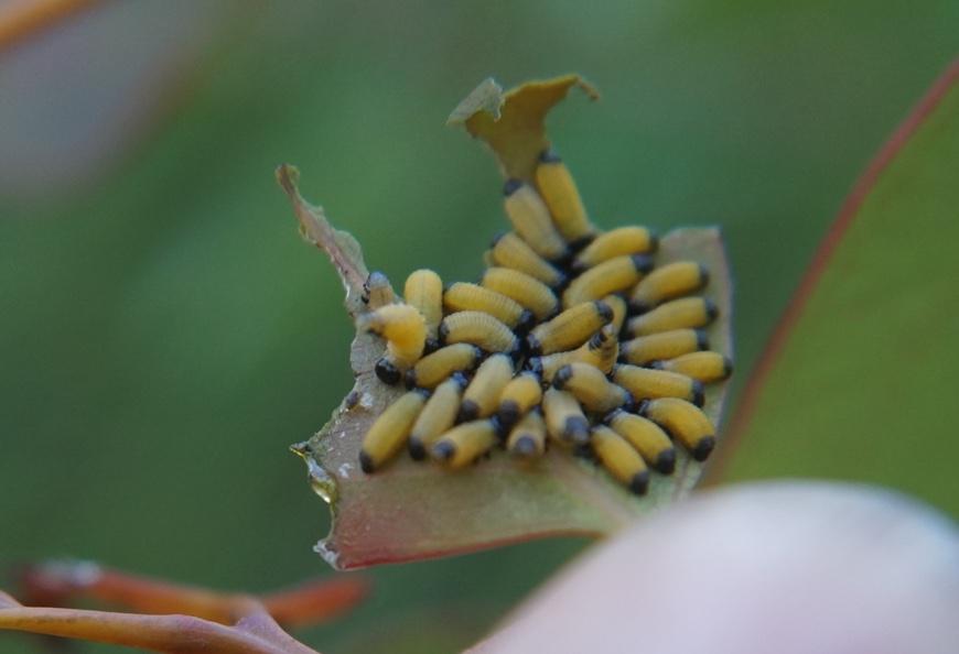 Paropsisterna variicollis larvae