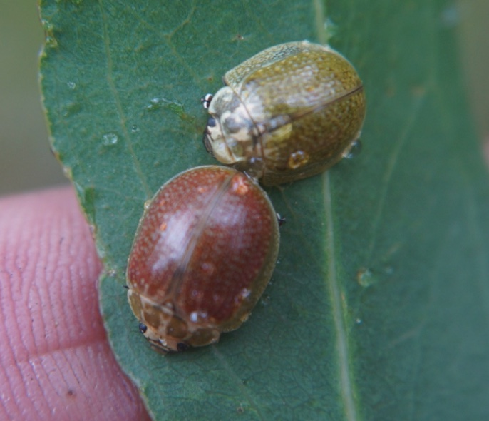 Paropsisterna variicollis adults male and female